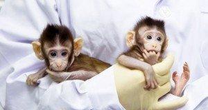 Çinli bilim insanları maymun klonlamayı başardı